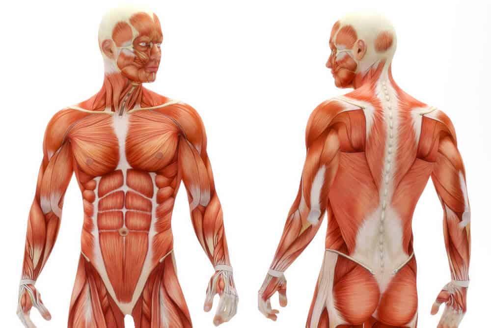 Muskel- und Faszienverbindungen in den Asanas